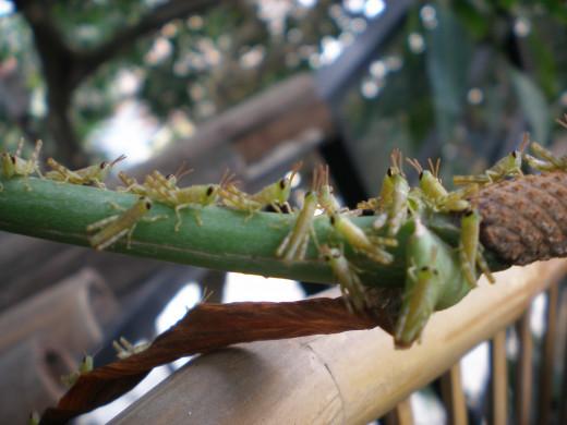Grasshopper attack.