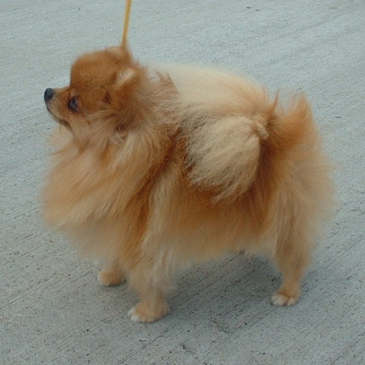 The Pomeranian started out as a large, sled-type dog and was downbred to become the small companion dog it is today.
