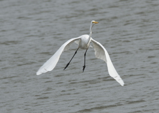 Great Egret Flies Away