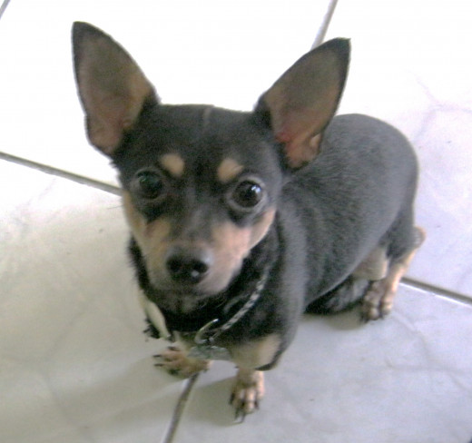 Our adorable adopted chihuahua 'Chiquito""