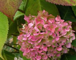 Hydrangea Bloom in Fall Colors