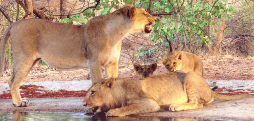 Gir is the only protected area in Asia for the endangered Asiatic Lions