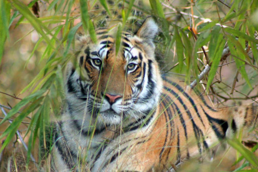 A photo friendly tiger inside Bandhavgarh National Park