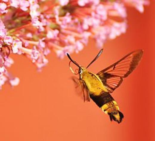Bumblebee Moth