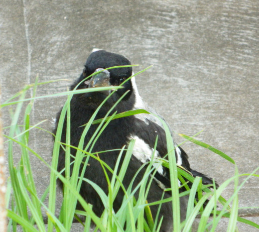 A baby magpie I named Chook. He was hiding behind some blades of grass and was out for his maiden flight.