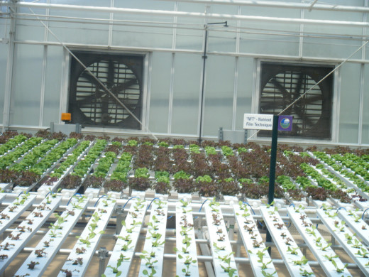 Hydroponic plants grown at the Land