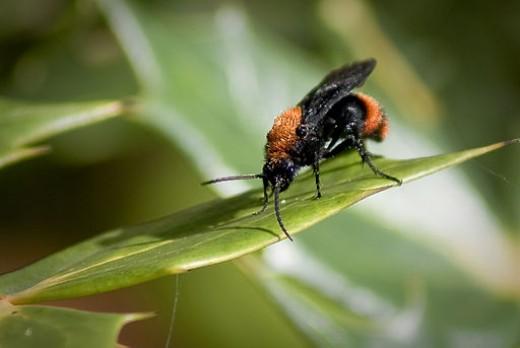 """Winged Dasymutilla """"Ant"""""""