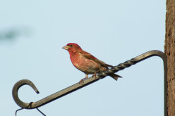 Do Purple Finches have relatives? Yes, and here is when they see them.