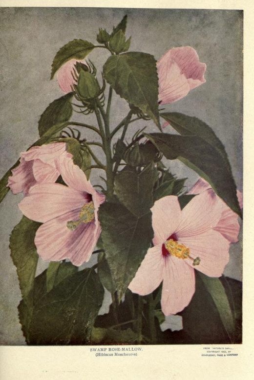 The name Marsh mallow was once mistakenly applied to the Swamp Rose mallow.