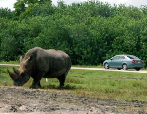 See, the rhinos roam free.  photo by AMB