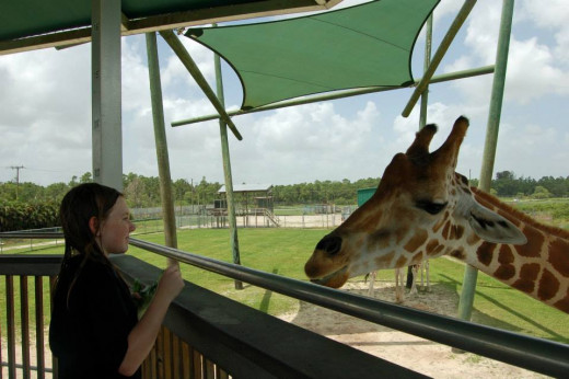 My daughter feeding the giraffe!  Worth the $2.50!  photo by AMB