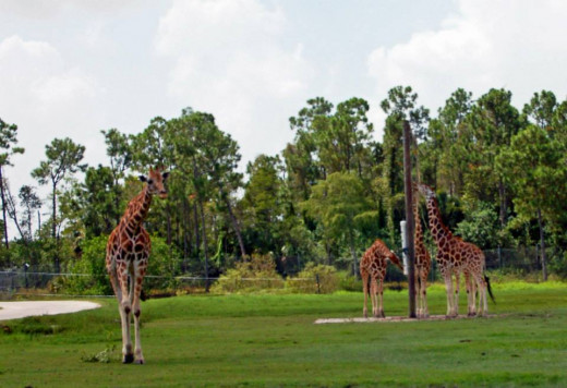 Giraffes wandering around drive-through area. photo by AMB