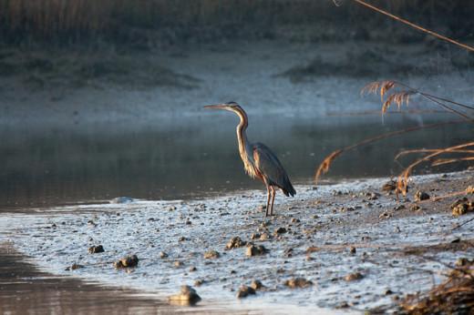 Purple Heron in Gorino Ferrarese, in the Delta area.