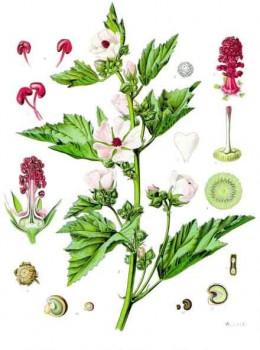 Kohler's medizinal Pflanzen { 1897 } via Editor at Large wikipedia.