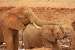 Amazing things about elephants