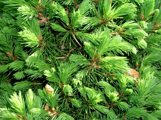 Pine needles are a renewable resource.