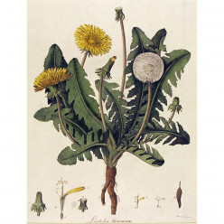 Benefits of Dandelion Greens and Flowers
