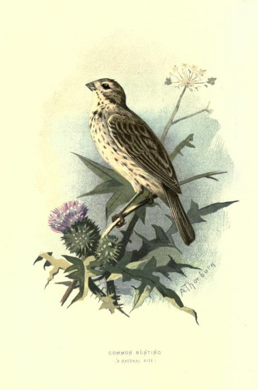 Familiar wild birds. Swaysland { 1883}