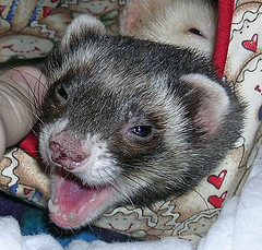 Do you have the legal right to own a ferret where you live?