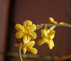The Jasmine Plant