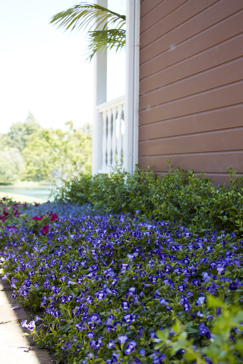 Midnight Blue Wishbone flowers are planted in a swath of color for a part shade sice of the house.