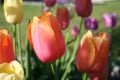 What Are the Different Types of Tulips?