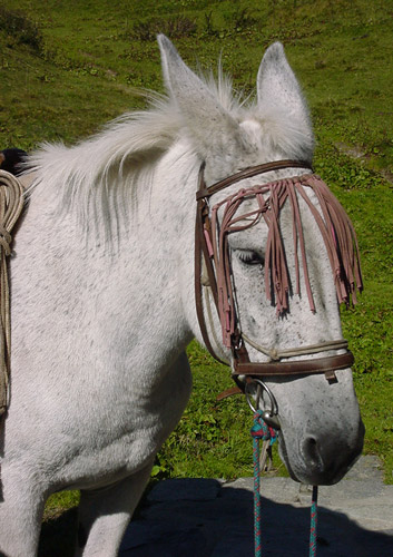 A gray mule with bridle.