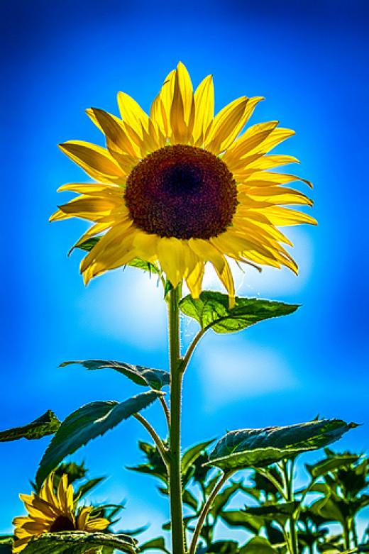 Sun + Flower = Sunflower from Frank Koehntopp flickr.com