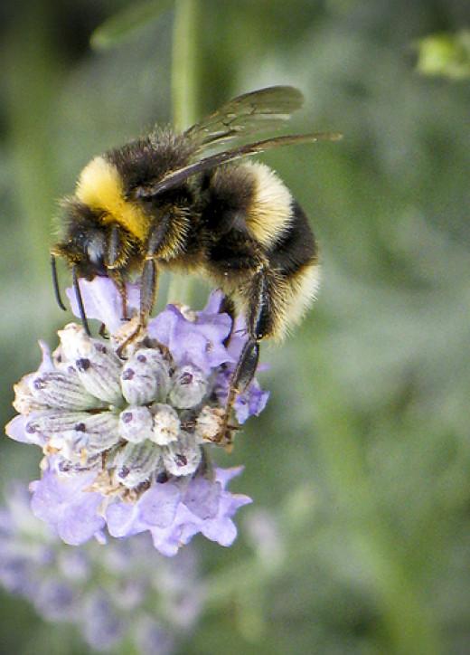 Bee on lavender from Hellsgeriatric flickr.com