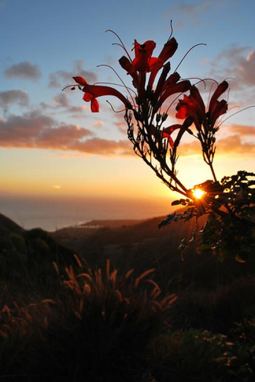 red honeysuckle at sunset from Tantivy_Jade flickr.com