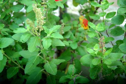 Indian Tulsi Leaf