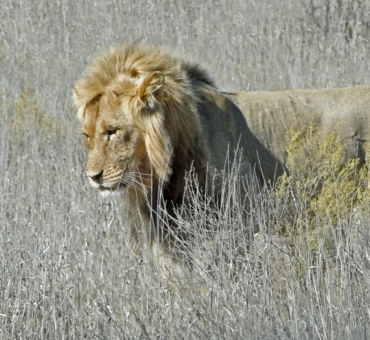 The King in Kgalagadi