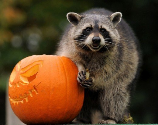 Animals love pumpkins.