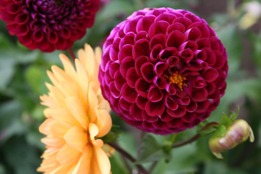 Dahlias side-by-side - Germany