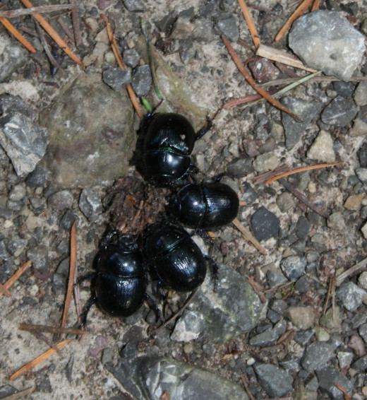 Beetles on trail in Schwarzwald near Rastatt, Germany
