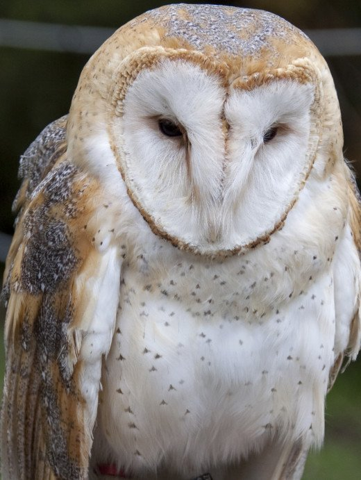 Barn Owl.  By Tony Hisgett from Birmingham, UK (Barn OwlUploaded by Magnus Manske) [CC-BY-2.0 (http://creativecommons.org/licenses/by/2.0)], via Wikimedia Commons