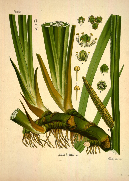 Professor Dr Thome's Flora 1903