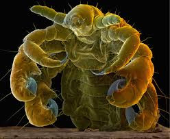 What causes Pubic Lice?