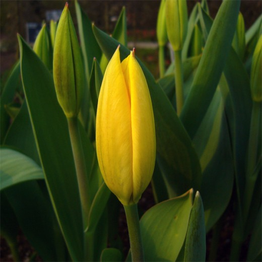 Tulip 'Golden Emperor'