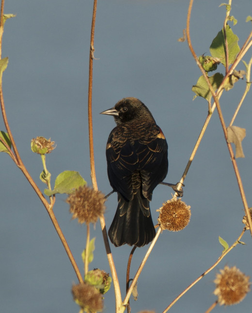 Immature Male Red-winged Blackbird