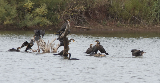 "Double-crested Cormorants ""The Gathering"""