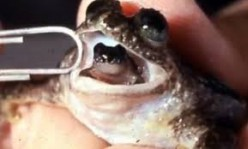 Weird Animals – The Gastric Brooding Frog