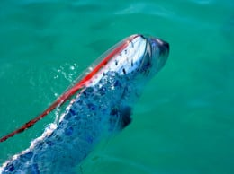 The Oarfish's dorsal fin consists of many thin rays ranging from pink to bright red in color.