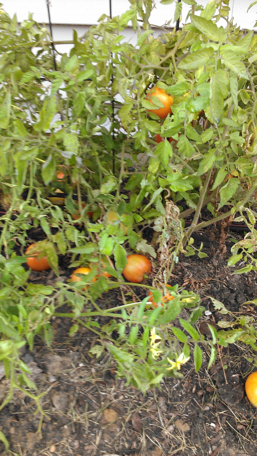 Tomato plant at my home in Indiana.