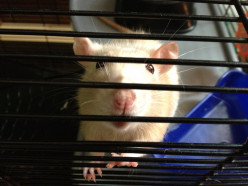 Would you get surgery for your pet rat in this situation?