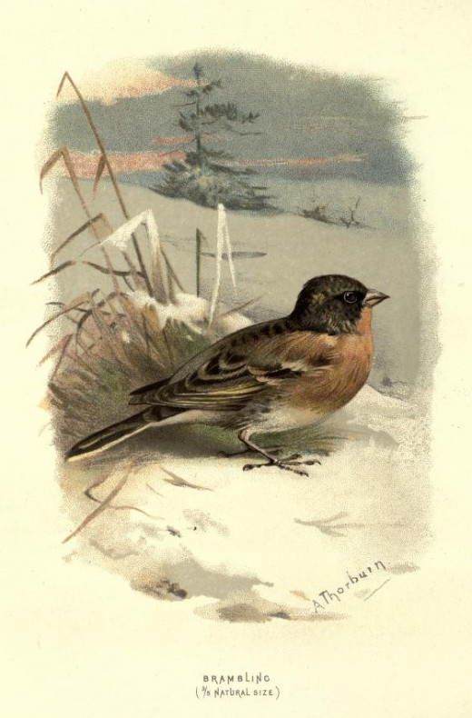 Familiar Wild Birds 1837 Illustration by Thornburn