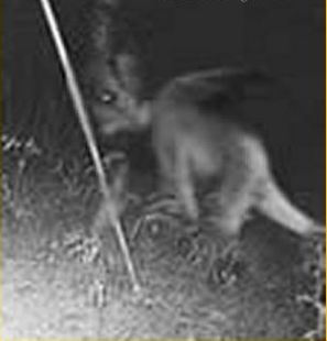 Jersey Devil on Film?