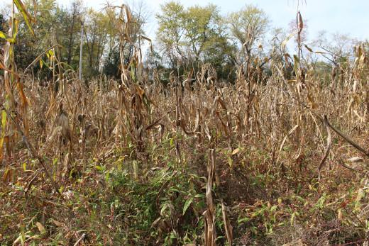 Corn stalks in autumn.