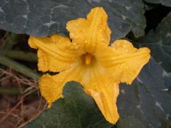 Stuffed Squash Blossom Recipes   - Pumpkin Flowers Filled, Deep Fried