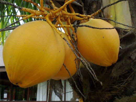 Yellow coconuts for Tingkeban .
